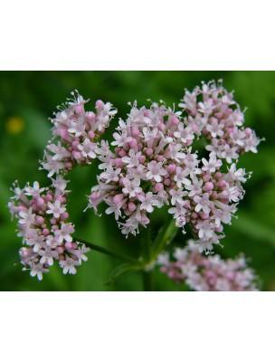 https://www.louis-herboristerie.com/8815-home_default/valeriane-bio-racine-coupee-100g-tisane-de-valeriana-officinalis-l.jpg