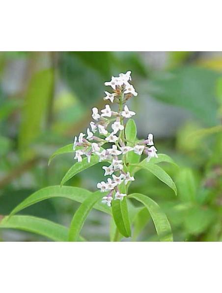 Verveine citronnée (odorante) Bio - Feuilles brisures 50g - Aloysia citriodora Palau