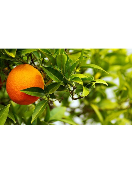 Orange amère (Bigaradier) - Ecorce 100g - Citrus aurantium L.