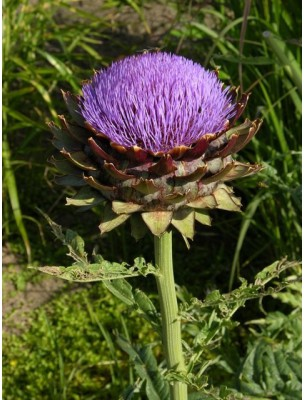 https://www.louis-herboristerie.com/8916-home_default/artichaut-bio-feuille-coupee-100g-tisane-de-cynara-cardunculus-var-scolymus.jpg