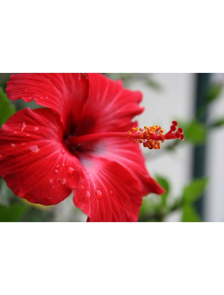 Hibiscus Bio - Fleur coupée 100g - Tisane d'Hibiscus sabdariffa L.