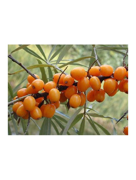Argousier Bio - Hippophae rhamnoides 30 ml - Bioflore