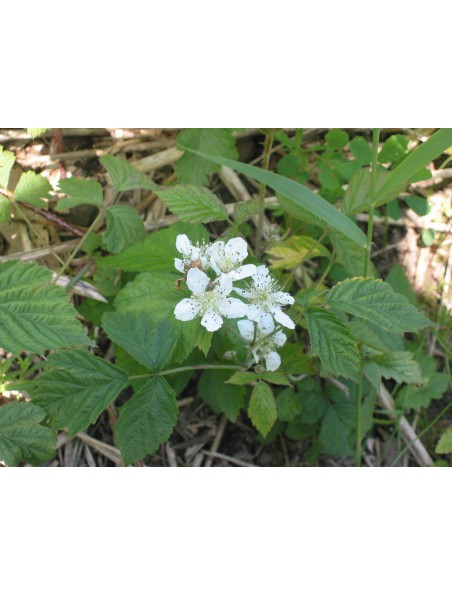 Ronce Bio - Feuilles coupées 100g - Tisane Rubus fruticosus L.