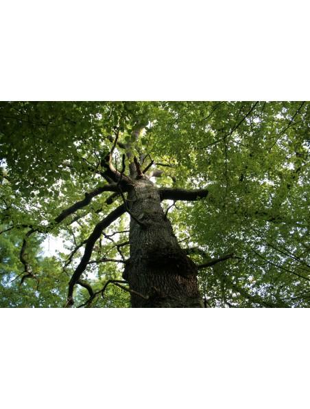 Chêne Bio - Ecorce 100g - Quercus robur L.