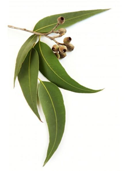 Eucalyptus Bio - Feuilles coupées menu 100g - Eucalyptus globulus Labill.