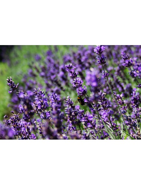 Lavande officinale Bio - Fleurs 100g - Lavandula angustifolia