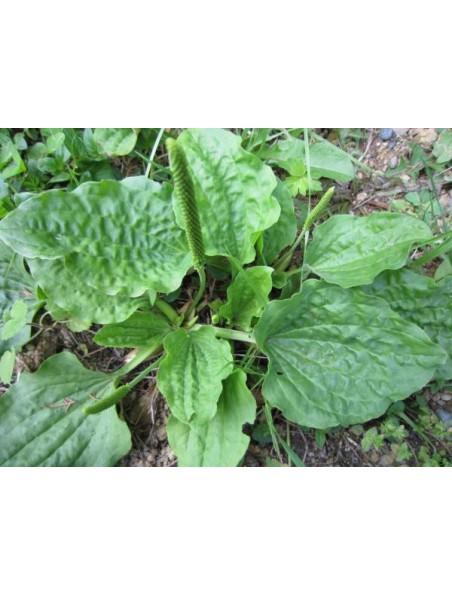 Plantain Bio - Feuilles coupées 100g - Plantago major L.