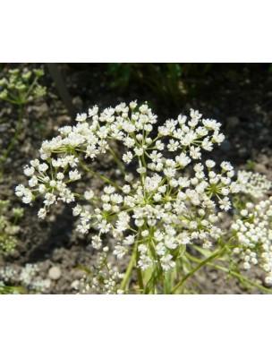 https://www.louis-herboristerie.com/9500-home_default/anis-vert-bio-fruit-100g-tisane-pimpinella-anisum-l.jpg