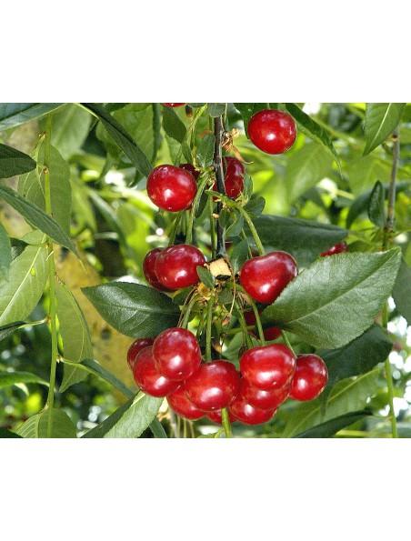 Queue de cerise - Pédoncule 50g - Prunus cerasus L.