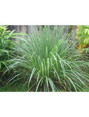 https://www.louis-herboristerie.com/9547-home_default/citronnelle-bio-feuilles-coupees-100g-tisane-cymbopogon-citratus-dc-stap.jpg