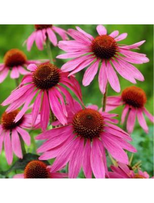 https://www.louis-herboristerie.com/9583-home_default/echinacee-bio-immunite-teinture-mere-echinacea-purpurea-50-ml-biover.jpg