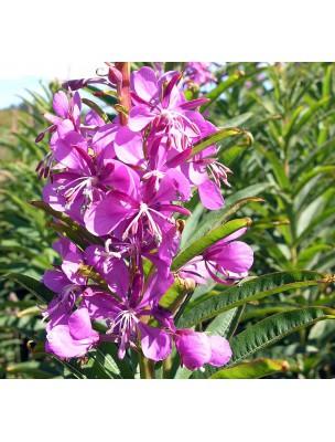 https://www.louis-herboristerie.com/9627-home_default/epilobe-bio-sommite-fleurie-100g-tisane-d-epilobium-angustifolium-l.jpg