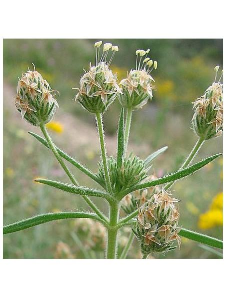 Psyllium noir (Ispaghul) Bio - Graines 250g - Tisane de Plantago afra L.