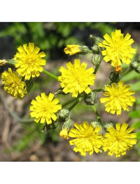 Piloselle Bio - Partie aérienne coupée 100g - Hieracium pilosella L.