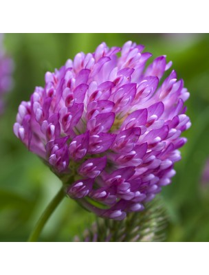 https://www.louis-herboristerie.com/9751-home_default/trefle-rouge-fleurs-100g-tisane-de-trifolium-pratense-l.jpg