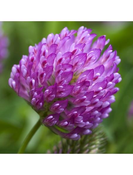 Trèfle rouge - Fleurs 50g - Trifolium pratense L.