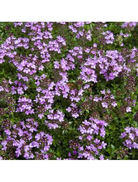 Serpolet Bio - Sommité fleurie coupée 100g - Tisane Thymus serpyllum L.