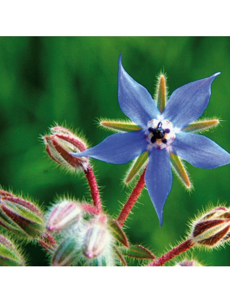 Bourrache Bio - Sommité fleurie 100g - Tisane Borago officinalis L.