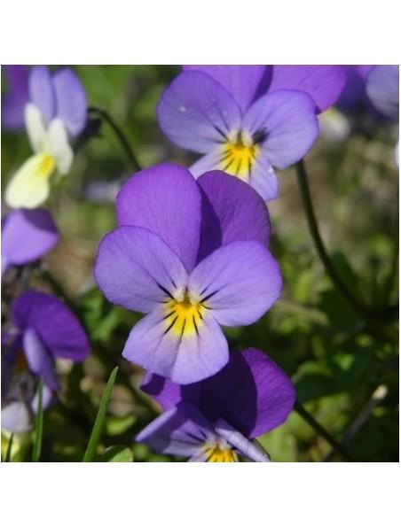 Pensée sauvage Bio - Plante coupée 100g - Viola tricolor susp. arvensis Murray
