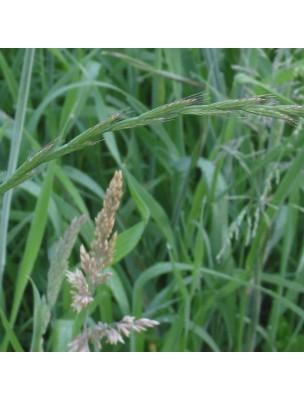 https://www.louis-herboristerie.com/9886-home_default/chiendent-bio-rhizome-en-poudre-100g-elymus-repens-l-gould.jpg