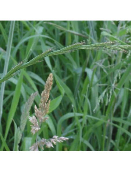 Chiendent Bio - Rhizome en poudre 100g - Elymus repens (L.) Gould