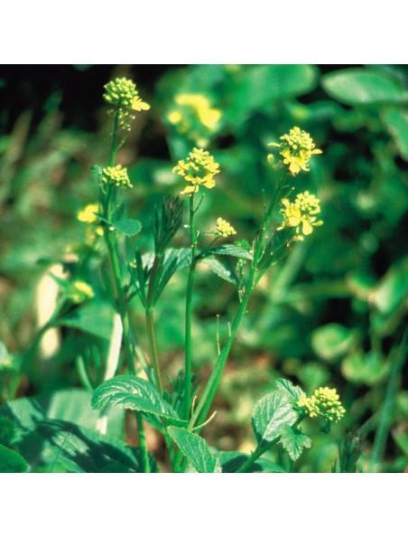 Mustard (Moutarde) N° 21 - Profonde tristesse 20ml - Fleurs de Bach Original