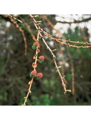 https://www.louis-herboristerie.com/9904-home_default/larch-mlze-20-ml-n19-fleurs-de-bach-original.jpg