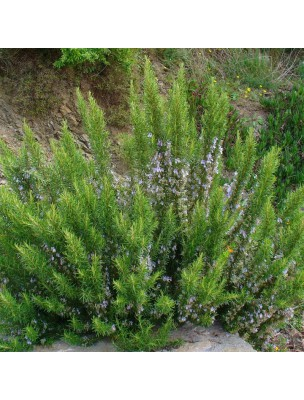 https://www.louis-herboristerie.com/9920-home_default/romarin-bourgeon-bio-50-ml-herbalgem.jpg