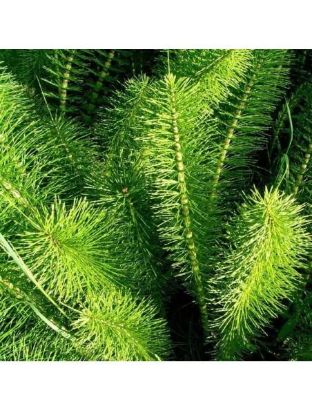 Prêle Bio - Reminéralisant Teinture-mère Equisetum arvense 50 ml - Biover