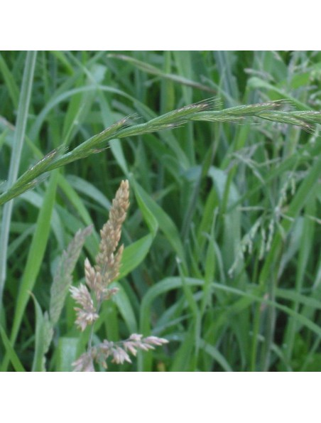 Chiendent Bio - Rhizome coupé 100g - Tisane de Elymus repens (L.) Gould