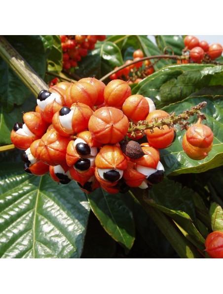 Guarana Bio - Graines séchées 100g - Paullinia cupana Kunth.