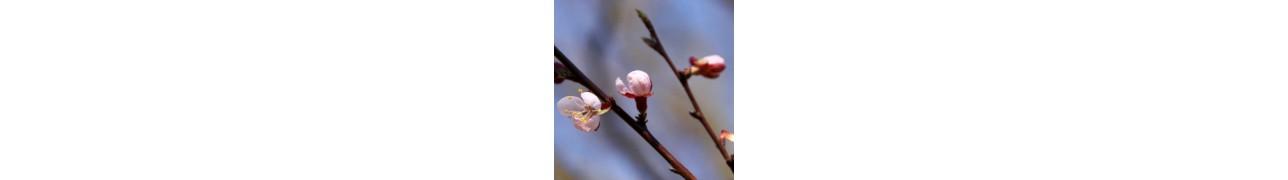 ▷ Les bourgeons sans alcool d'Herbiolys