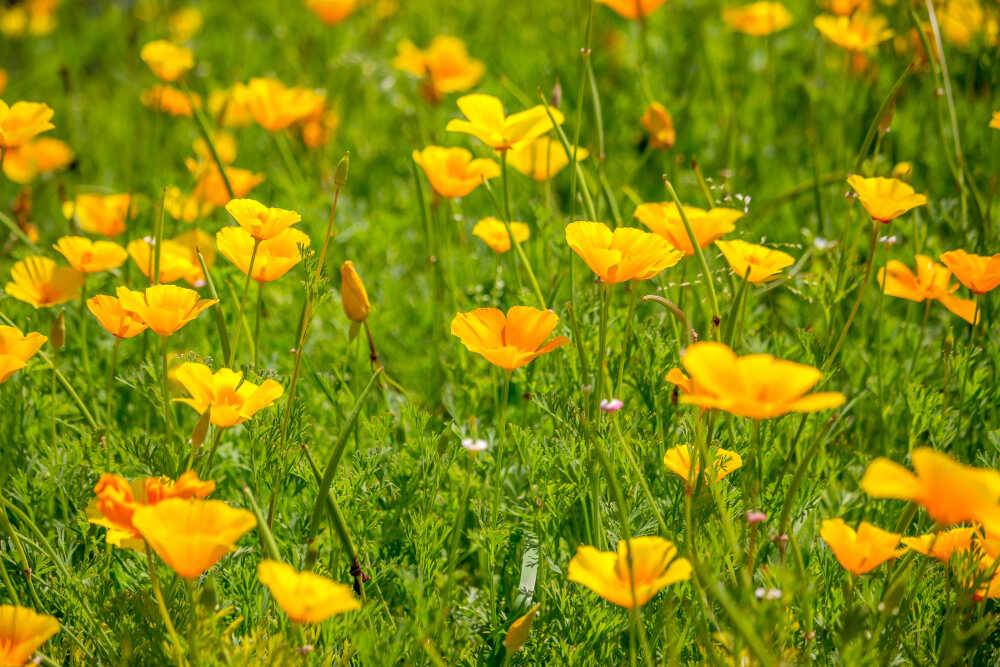 Pavot de Californie sur le site de Louis-herboristerie
